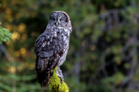 Great-Gray Owls