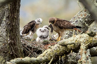 Redtail Hawk Adult feeds chicks