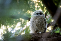 Spotted Owl baby