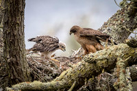 Redtail hawk baby with mom