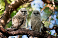 Spotted Owl Juveniles, recently fledged