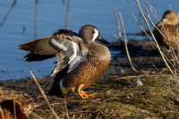Blue Winged Teal (Male)