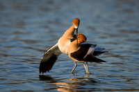 Avocets post-mating
