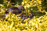 Pie-Billed Grebe Mom with Babies