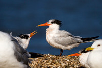 Elegant Tern (Parent with begging chick)