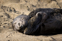 Elephant Seal Calf