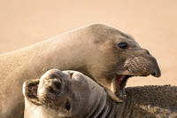 Elephant Seal dispute