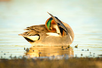Green-Winged Teal at sunset