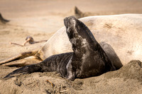 Elephant Seal pup with mom