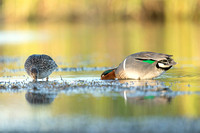 Green-Winged Teals foraging