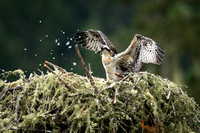 Osprey chick sheds baby down