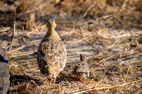 Double-Banded Sandgrouse Dad with chick