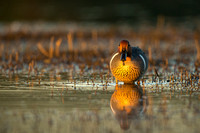 Green-Winged Teal at sunset (male)