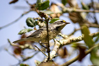 Black-Chinned Gray Warbler