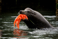 Bull Sea Lion with salmon stolen from fisherman