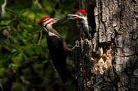 Pileated Woodpecker with Chick
