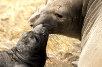 Elephant Seal with Mother