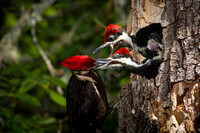 Pileated Woodpecker with Chicks